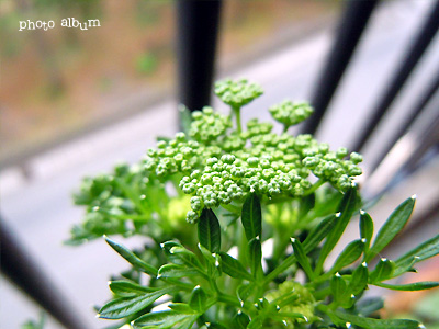 きょうの誕生花(10月8日):パセリ
