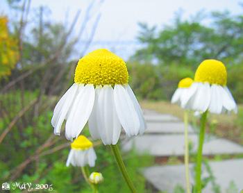 きょうの誕生花(2月14日):カモミール