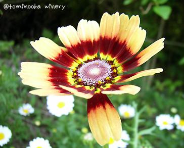 ハナワギク(花輪菊)