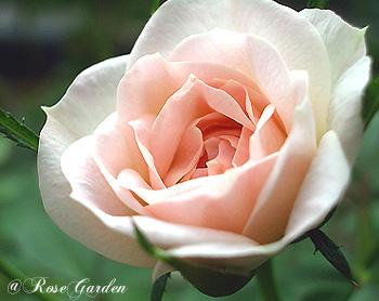 バラ(薔薇):ブライダル ピンク