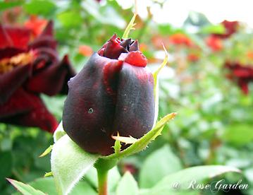 バラ(薔薇):黒真珠