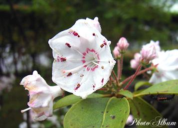 きょうの誕生花(2月20日):カルミア