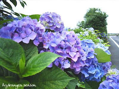 紫陽花road