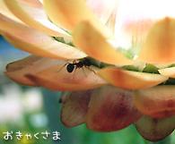 カイガラソウ(貝殻草) ・ ムギワラギク(麦藁菊) ・ ヘリクリサム