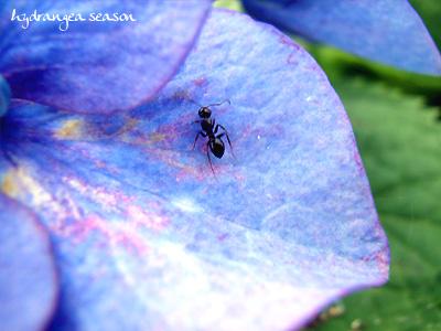 紫陽花ありんこ