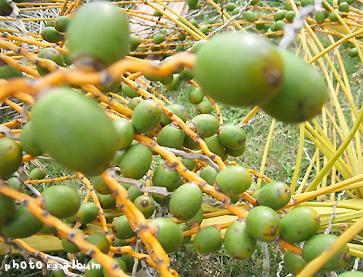 カナリーヤシ(カナリー椰子)