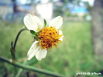 コシロノセンダングサ(小白の栴檀草)