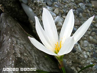 タマスダレ(玉簾)