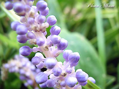 きょうの誕生花(10月26日):ヤブラン(薮蘭)