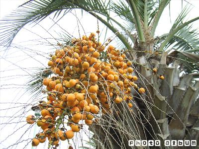ブラジルヤシ(ブラジル椰子)