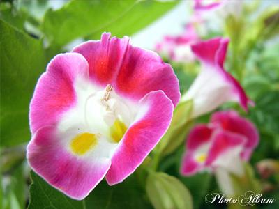 きょうの誕生花(8月6日):トレニア