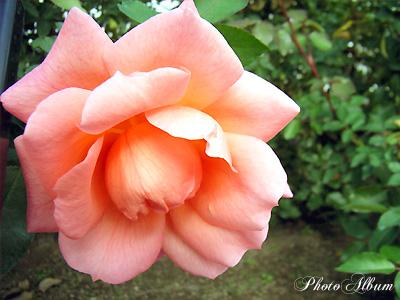 バラ(薔薇):ザンブラ '93