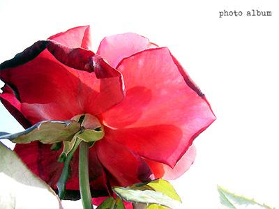 バラ(薔薇):ミスター リンカーン