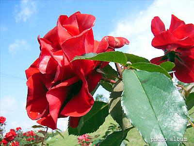 バラ(薔薇):ガルテンツァウバー'84