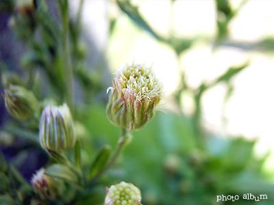 アレチノギク(荒れ地野菊)