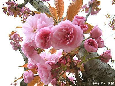サクラ(桜):八重桜