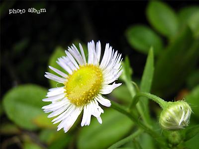 ハルジョオン(春女苑)