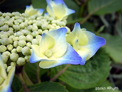 紫陽花2006 開花