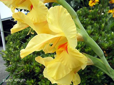 きょうの誕生花(3月23日):グラジオラス