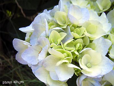 アジサイ(紫陽花):ブルーへ