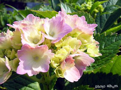 アジサイ(紫陽花):ピンクへ