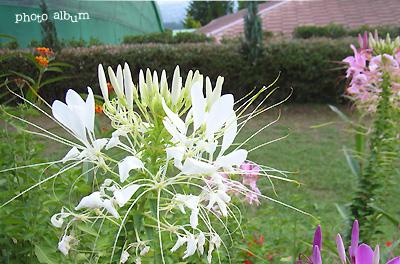 クレオメ ・ セイヨウフウチョウソウ(西洋風蝶草)
