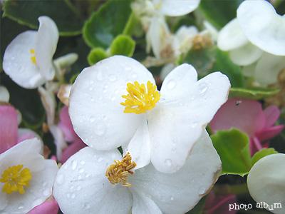 きょうの誕生花(10月18日):ベゴニア