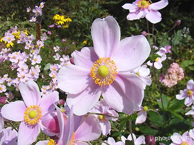 きょうの誕生花(9月14日):シュウメイギク(秋明菊)