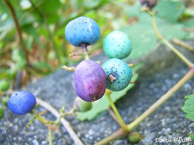 ノブドウ(野葡萄)