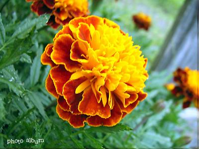 きょうの誕生花(10月16日):マリーゴールド