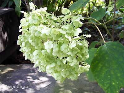 アジサイ(紫陽花):グリーンアナベル