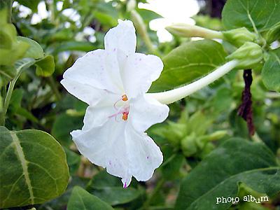 オシロイバナ(白粉花)