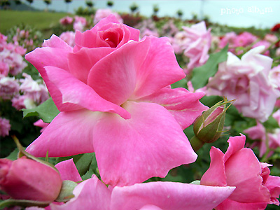 バラ(薔薇):フロリック