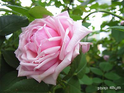 バラ(薔薇):ラ フランス