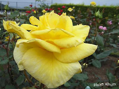 バラ(薔薇):サンブライト