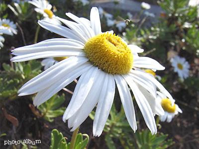 ハマギク(浜菊)