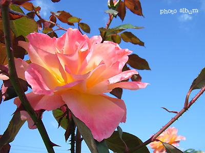 バラ(薔薇):スーブニール ドゥ アンネ フランク