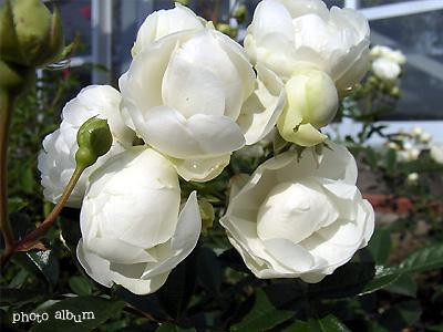 バラ(薔薇) : サマー スノー