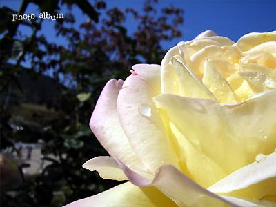 バラ(薔薇):ピース