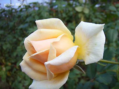 バラ(薔薇) : アプリコット ネクター