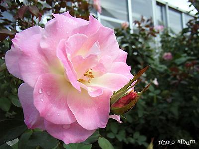 バラ(薔薇):マチルダ