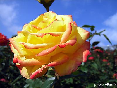 バラ(薔薇):絵日傘