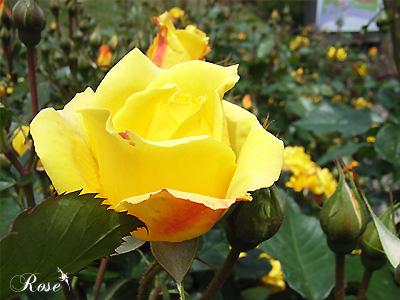バラ(薔薇):ゴールドマリー '84