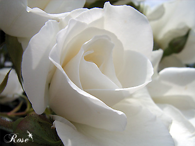 バラ(薔薇):アイスバーグ