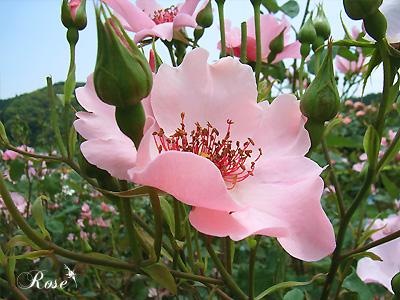 バラ(薔薇):デンティー ベス
