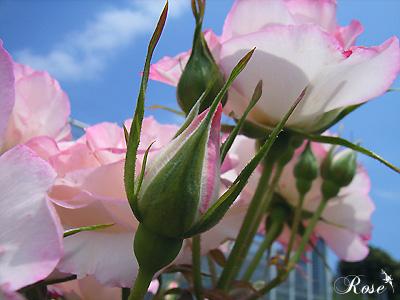 バラ(薔薇):ニコール