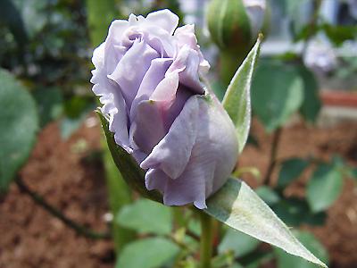 バラ(薔薇):オンディーナ