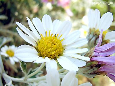 ノジギク(野路菊)
