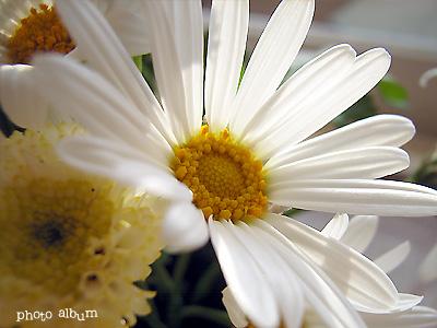 フランスギク(仏蘭西菊)