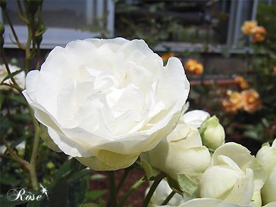 バラ(薔薇):サマー スノー